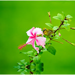 """""""Hidden Tropical Paradise"""" I was shooting the Hibiscus flowers on the Big Island of Hawaii and this little guy landed. I almost missed him as he was just tucked in! He disappeared a quick second after capturing the photo."""