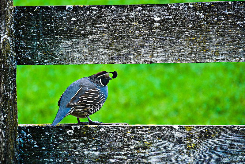 """California Quail on a Fence"" - Rancho San Antonio Park, Cupertino, California"