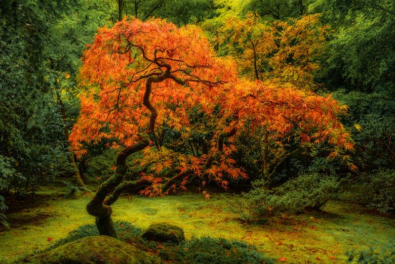 """Whispering Tranquility"" - Japanese Maple with amazing lighting"
