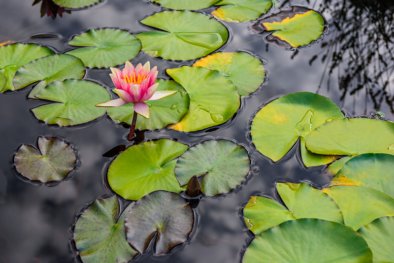 """Lily Pad and Flowers in the Pond""  Japanese Garden Stilllife Peaceful"