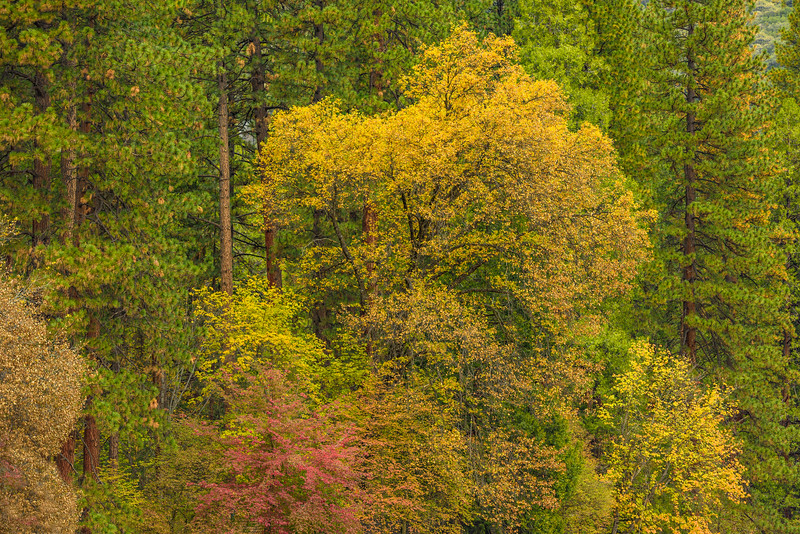 """Fall Colors Among the Pines in Yosemite National Park"""