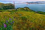 Marin Lupines California Poppies and Grasses above the Golden Gate Bridge San Francisco.