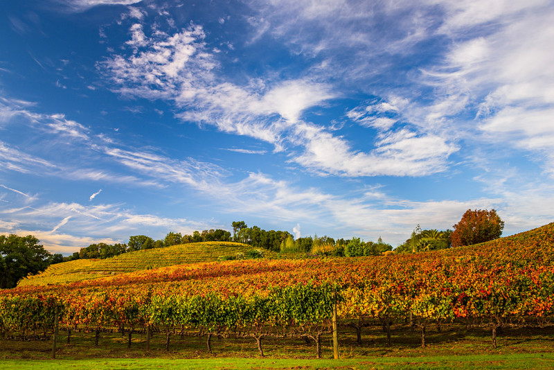 """Fall Colors in Sonoma Valley Vineyards"""