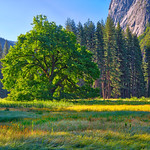 Elm and Wildflower in Yosemite