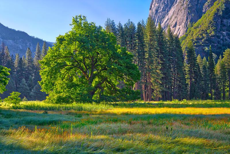 Elm and Wildflower in Yosemite