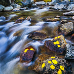 """Aspen Leaves in Fall by the River""  Eastern Sierra, Yosemite National Park"