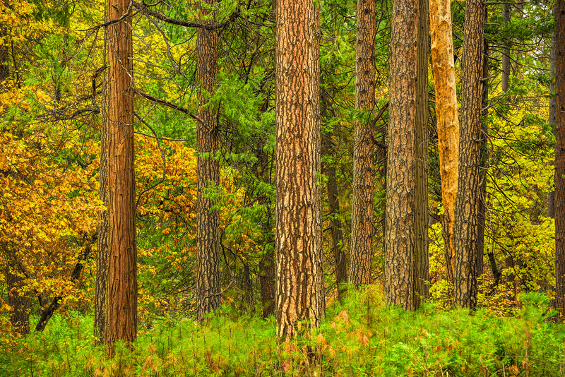 """Trees  in Yosemite National Park"""
