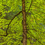 """""""Backlit Leaves in Autumn""""  The backlit leaves on this Oak were just radiant together with the twisted branches and detailed trunk.  Just another day in Yosemite!"""