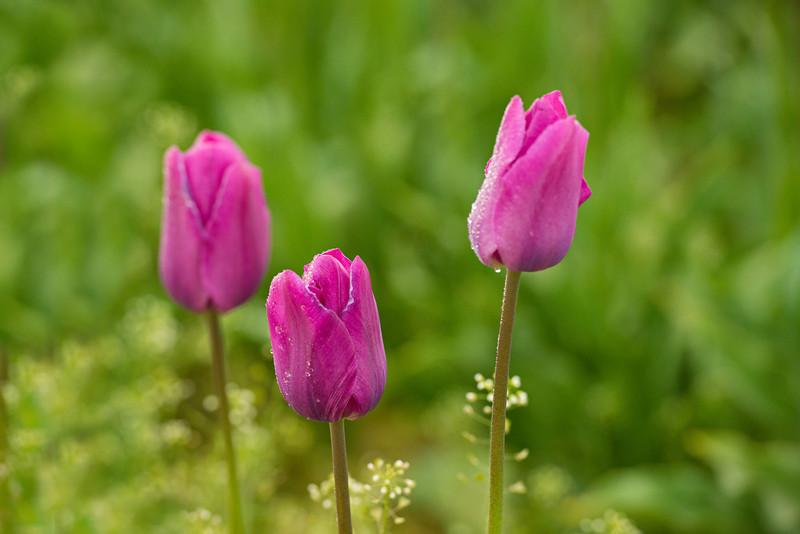 Three-Pink-Tulips-Wooden-Shoe-Tulip-Festival-Woodburn-Oregon_D8X0268