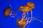 Jellyfish at the Monterey Bay Aquarium.  I captured these stunning creatures at one of our favorite places to go - The Monterey Bay Aquarium.  The exhibits continue to change and it is such a fun place to visit!  2463