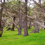Point-Lobos-Cypress-Trees-D8X1700