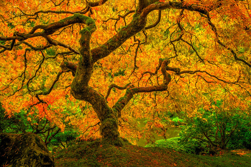 """""""Enchanting Tree of Life""""   This is another image from my shoot that almost didn't happen!  Pouring rain for hours before, it stopped raining just as I arrived. This Japanese Maple tree had such luscious leaves with orange, yellow and red highlights.  The green bushes and leaves around complementing the primary colors.  Such an amazing setting. My favorite parts are the twisty and knarly branches that rise to the sky.  The other hidden details I love are the red pine needles all around and the moss on the tree trunk and branches.  Japanese Maple trees are some majestic and powerful.  I wish I had one like this in our garden!!  Captured with the Nikon D800 at 24mm, the details on the tree are amazing to see up close!"""