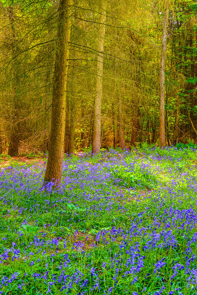 """Bluebells in the Cotswolds""  One of the treasures in the Cotswolds are the Bluebells in the forests.   Friends of mine dropped me off here to shoot for an hour before heading off to the airport!  The nice shadows from the forest and bluebells everywhere were just amazing!"