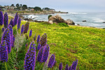 """Pacific Grove Northern California Coastline"" I liked this setting along the shore with the purple (Pride of Madera - Echium candicans or Echium fastuosum) and yellow groundcover (clover) with the rolling rocky surf. Just another nice place along the Monterey/Pacific Grove area"