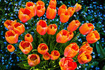 """Bouquet of Color"" Tulips at Filoli Gardens, Woodside, California. I thought these would be nice to share for this Easter Sunday. This is a favorite of my collectors. I stumbled upon this grouping of orange tulips and the bright colors with the blue flowers in the background really caught my attention. I used a wide angle lens to distort the perspective and these flowers just look great! Feel free to share and let me know if you enjoy it! Printed on a gallery wrap canvas, this just jumps out at you!<br /> #flowers   #flowerphotography   #tulips   #orange   #gardens   #landscapephotography   #basket   #basketofflowers"