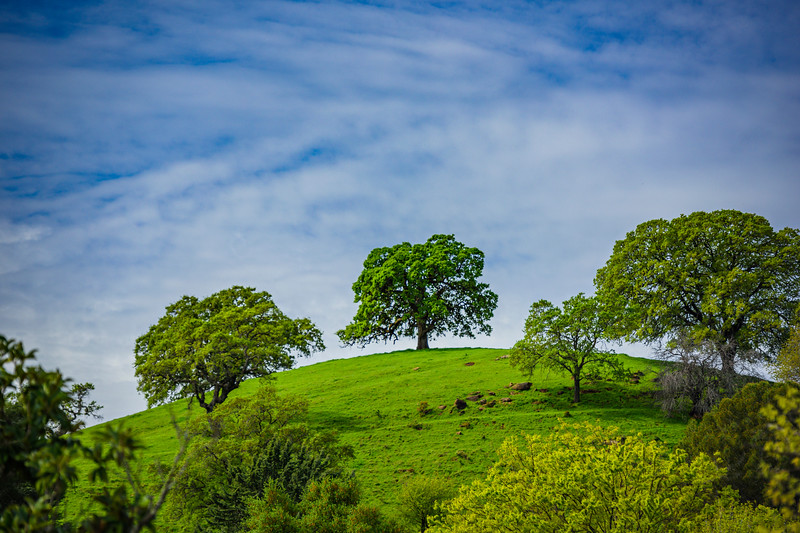 """Spring Oak Trees and Green Grass in the Easy Bay Northern California Foothills"""
