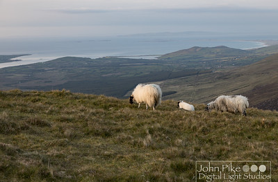 Sheep grazing at the top of Conor Pass