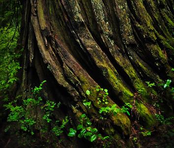 Redwoods 09