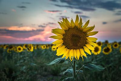 Sunflower east of Denver International Airport, August 2017