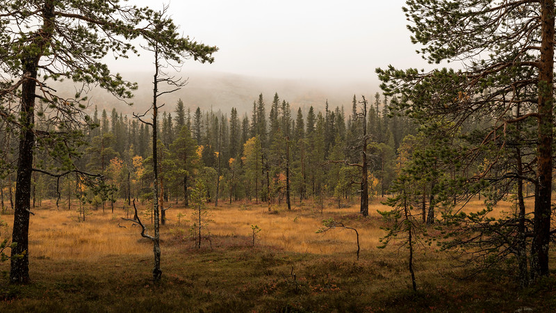 Forest view in Fulufjället national park
