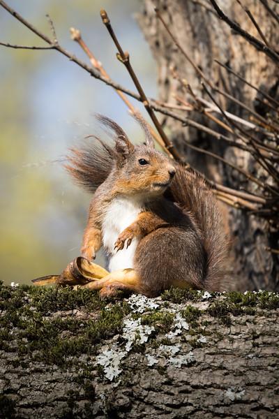Squirrel eating banana- II