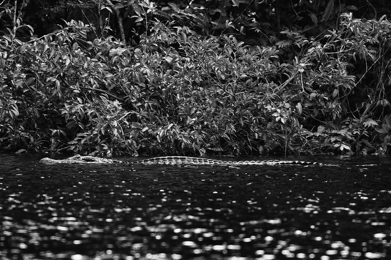 4 mts long Caiman