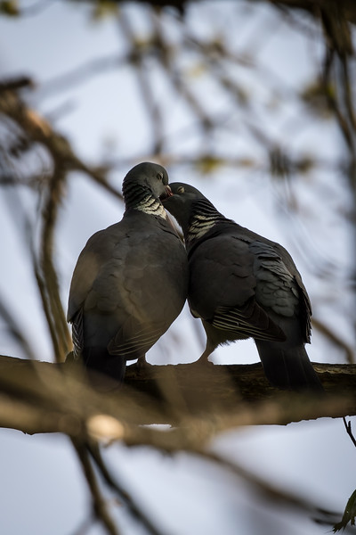 Pigeon's moment of intimacy