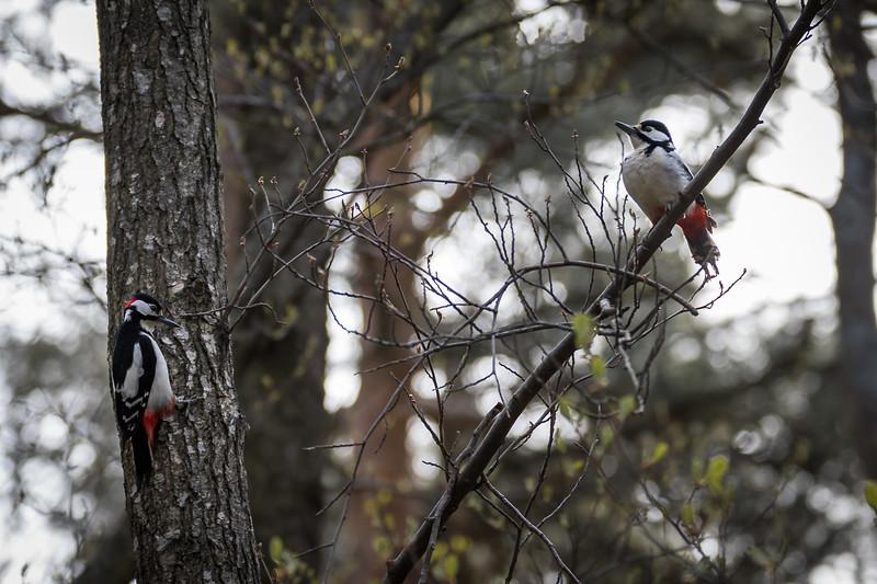 Great Woodpecker couple