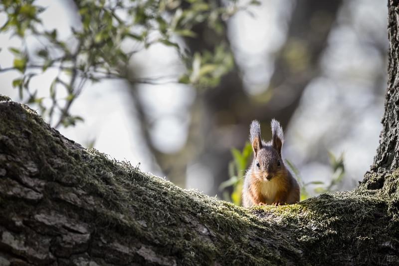 Facing a squirrel - I