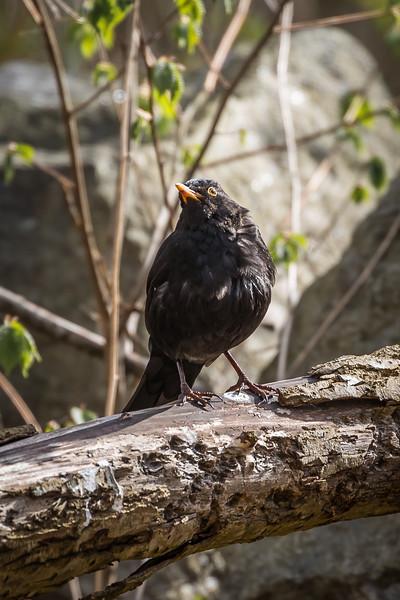Eurasian blackbird - II