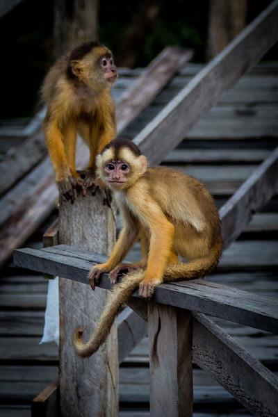 Small monkeys at Amazon