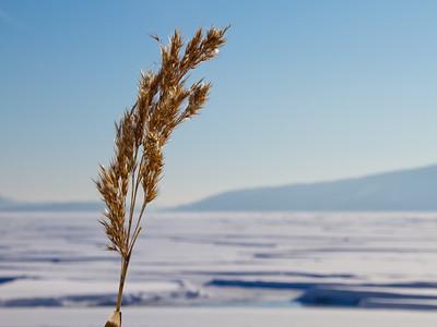 Reed at Gjerdal beach