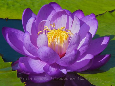 Water Lily - Longwood Gardens