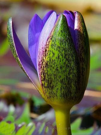 Water Lily - Longwood Gardens