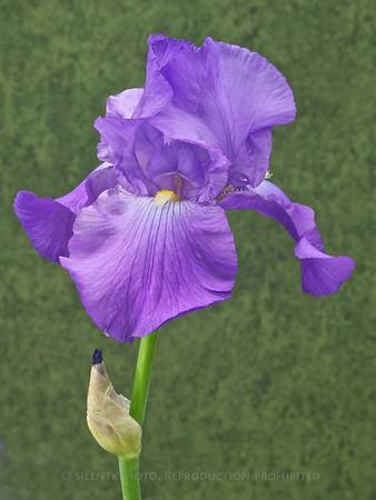 Natalie's Iris
