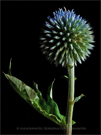 Wild Allium