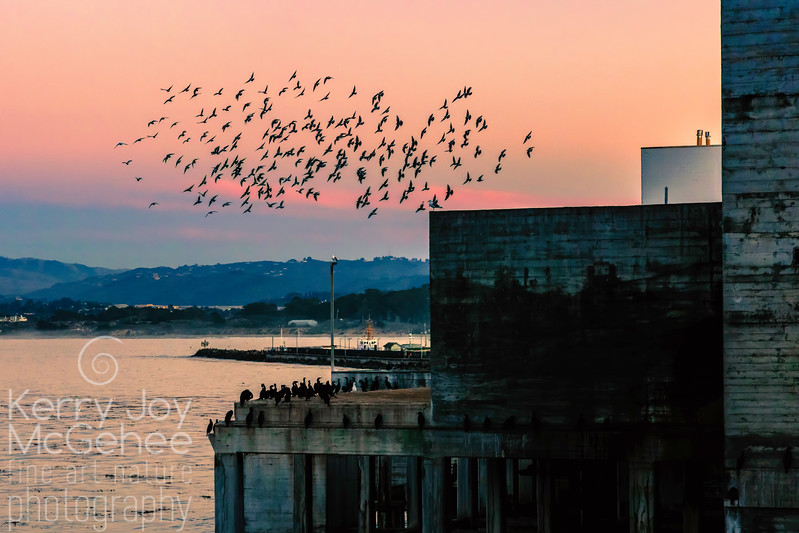 Cannery Flock