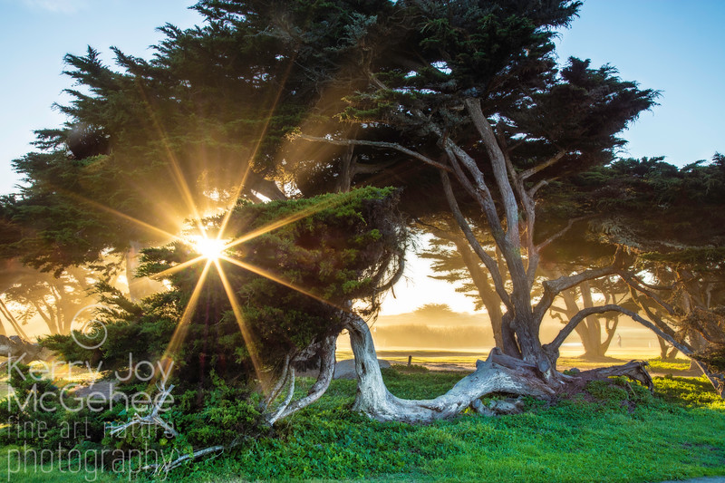 Cypress Tree Sunburst