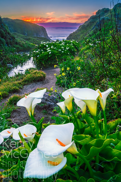 Calla Lily Valley II