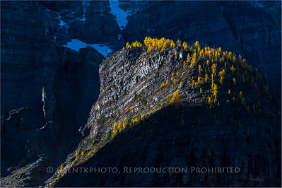 Larch Trees - Morning Sun CN Rockies, Banff National Park
