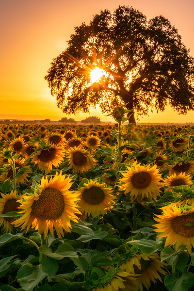 One sunflower stands taller above the rest at the sunflower fields of Muller Ranch, Woodland, CA