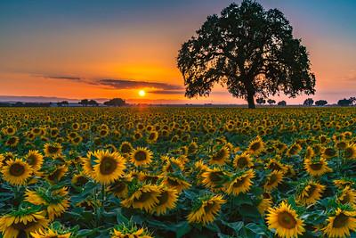 Sunflower Sundown