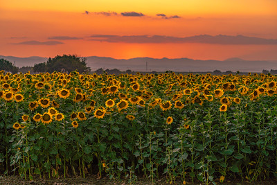Summer Solstice Sunflowers