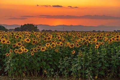 Summer Solstice Sunflowers