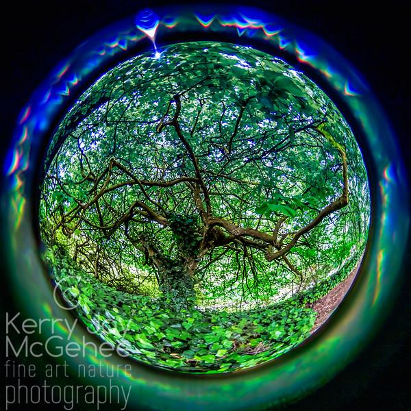 Fisheye Persian Parrotia Tree