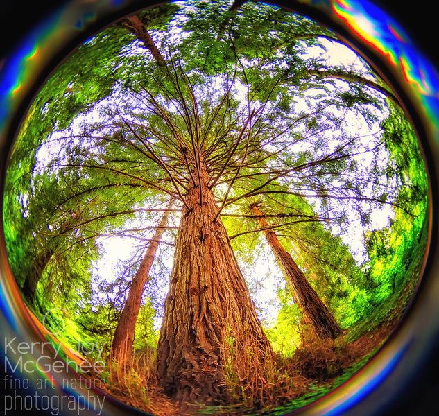 Fisheye Redwood
