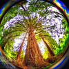 Fisheye Redwood