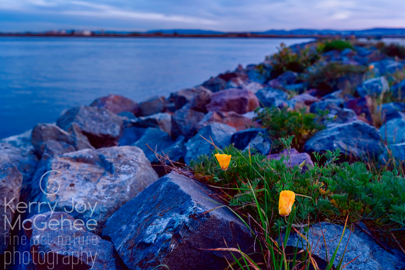 Yellow Poppies at the Port