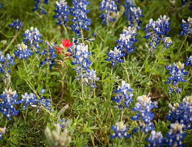 BLUEBONNETS WITH ONE PAINTBRUSH