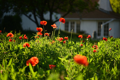 POPPIES IN CASTROVILLE